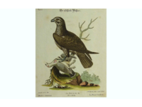 Gouldmaps Buizerd; G. Edwards / J. Seligmann - Buteo cinereus. - 1770