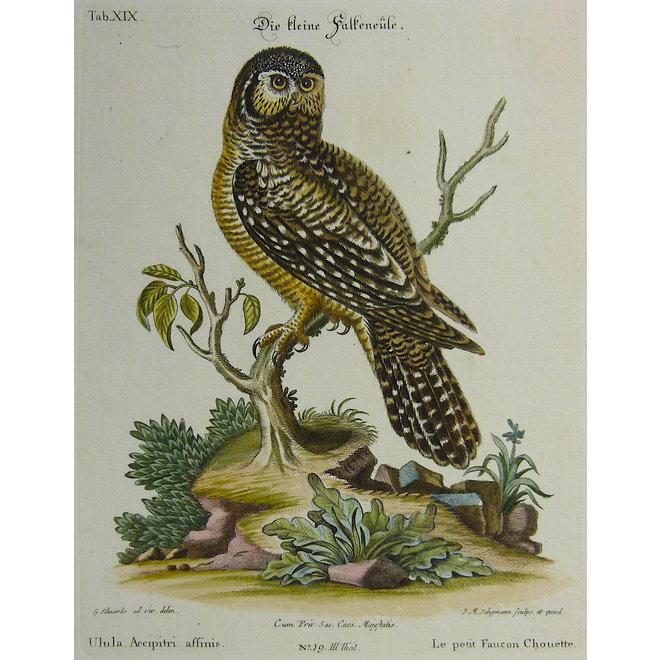 Collectie Gouldmaps - Kleine valkuil; G. Edwards / J. Seligmann - Uluha Accipitri affinis. - 1770
