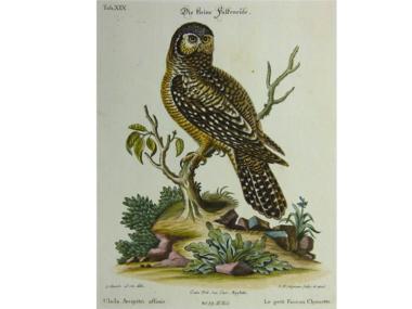 Gouldmaps Kleine valkuil; G. Edwards / J. Seligmann - Uluha Accipitri affinis. - 1770