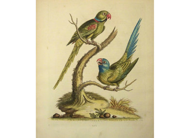 Gouldmaps Halsband  en blauwkop parkiet; G. Edwards - The Ring Parrakeet and the Blue-headed Parrakeet.. - 1758-1764