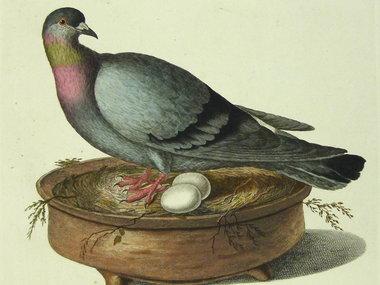 Gouldmaps Blauwe duif; C. Nozeman - Oenas Vinago Livia - 1770