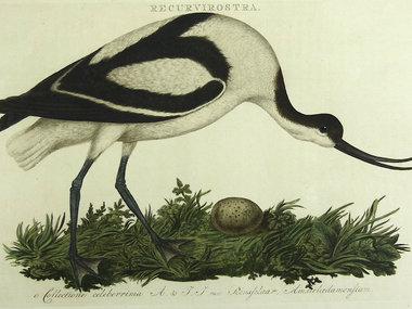 Gouldmaps Kluut; C. Nozeman - Recurvirostra - 1770