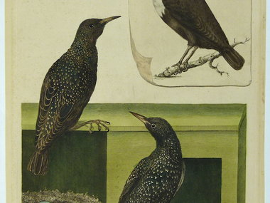 Gouldmaps Spreeuwen en waterspreeuw ; C. Nozeman - Sturnus et Cinclus - 1770