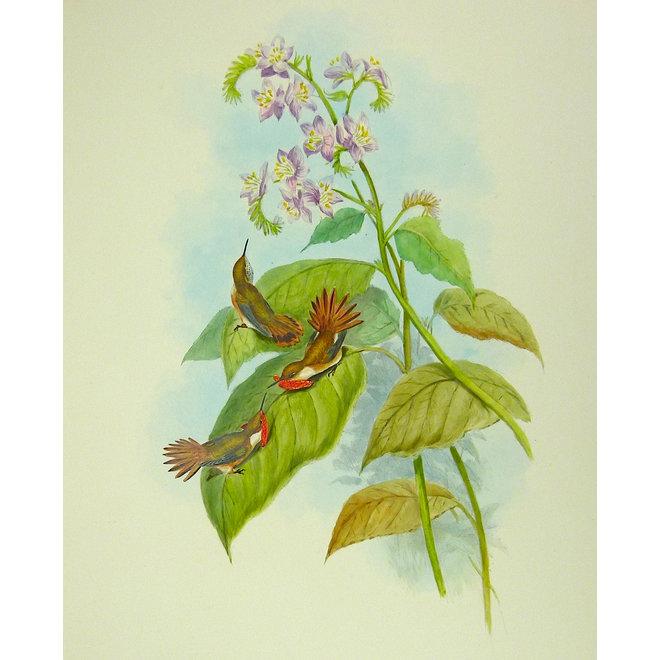 Little Flame-bearer; J. Gould - Selasphorus (..) - 1849 ca.