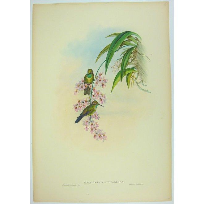 Green-throated Cazique; J. Gould - Delattria (..)- 1850 ca.