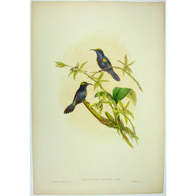 Penang Sun-bird; J. Gould - Nectarinia (..) - 1850 ca.
