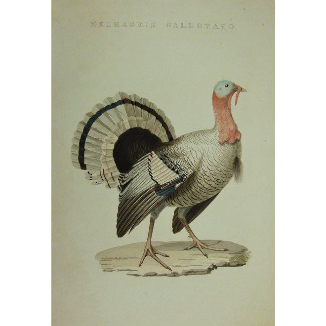 Collectie Gouldmaps - Kalkoen; C. Nozeman - Meleagris Gallopavo. - 1829