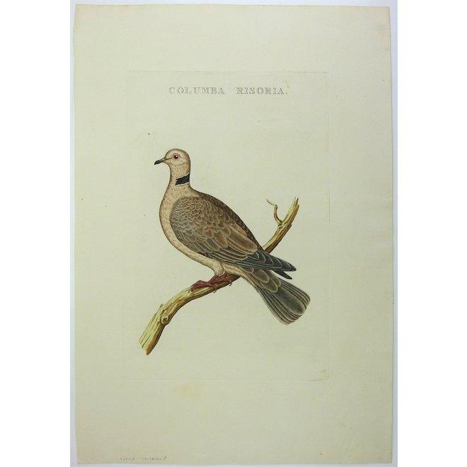 Collectie Gouldmaps - Tortelduif; C. Nozeman - Columba Risoria - 1829