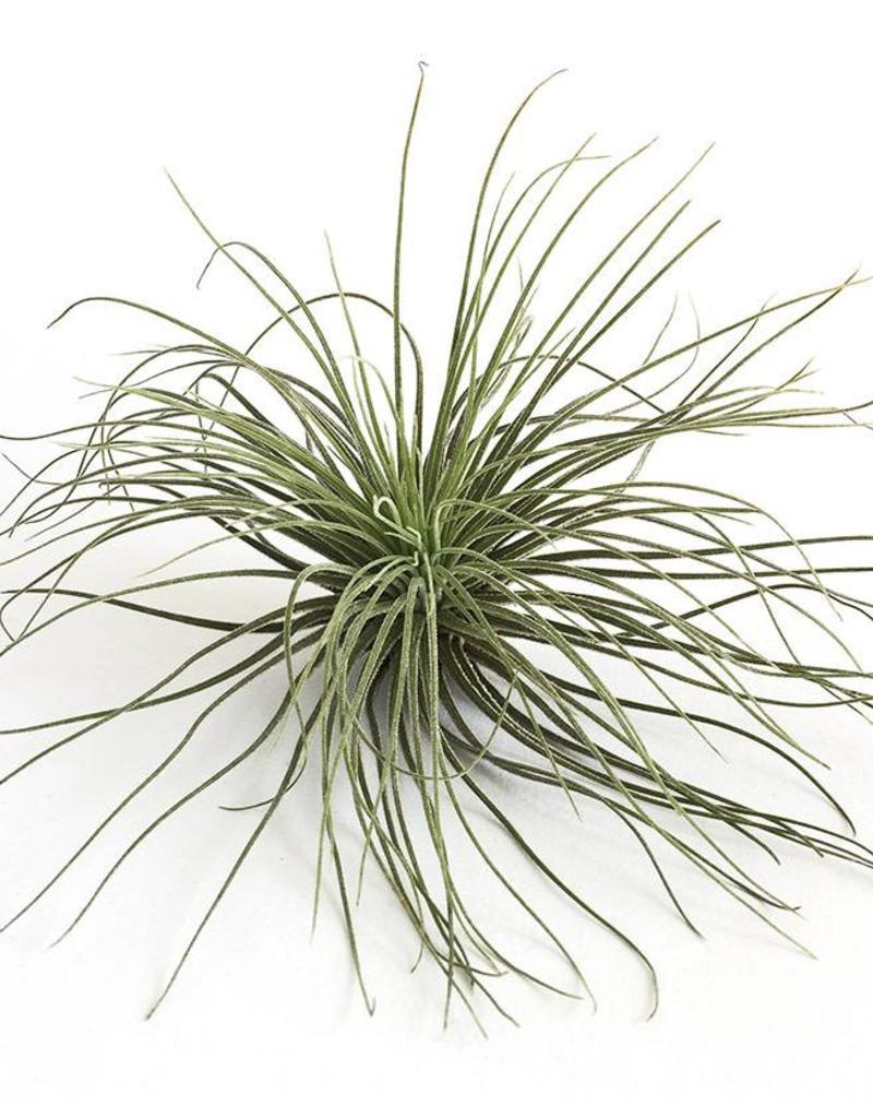 Draadzaken Airplant-Tillandsia Magnusiana