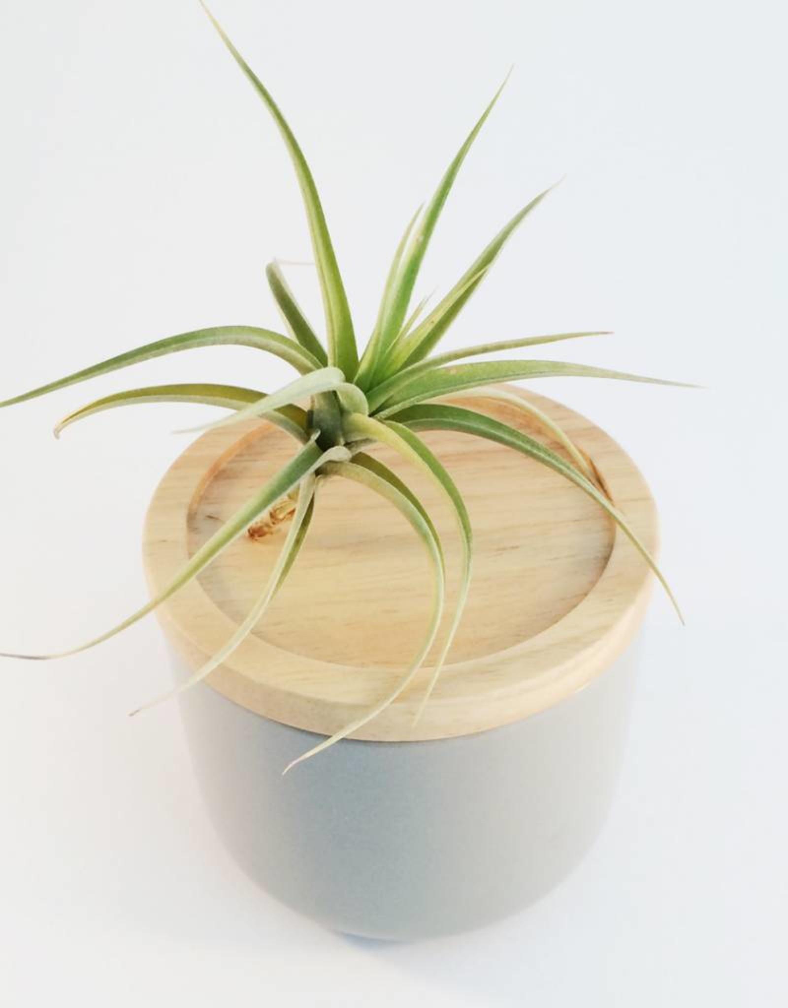 Draadzaken Airplant-Tillandsia Aeranthos