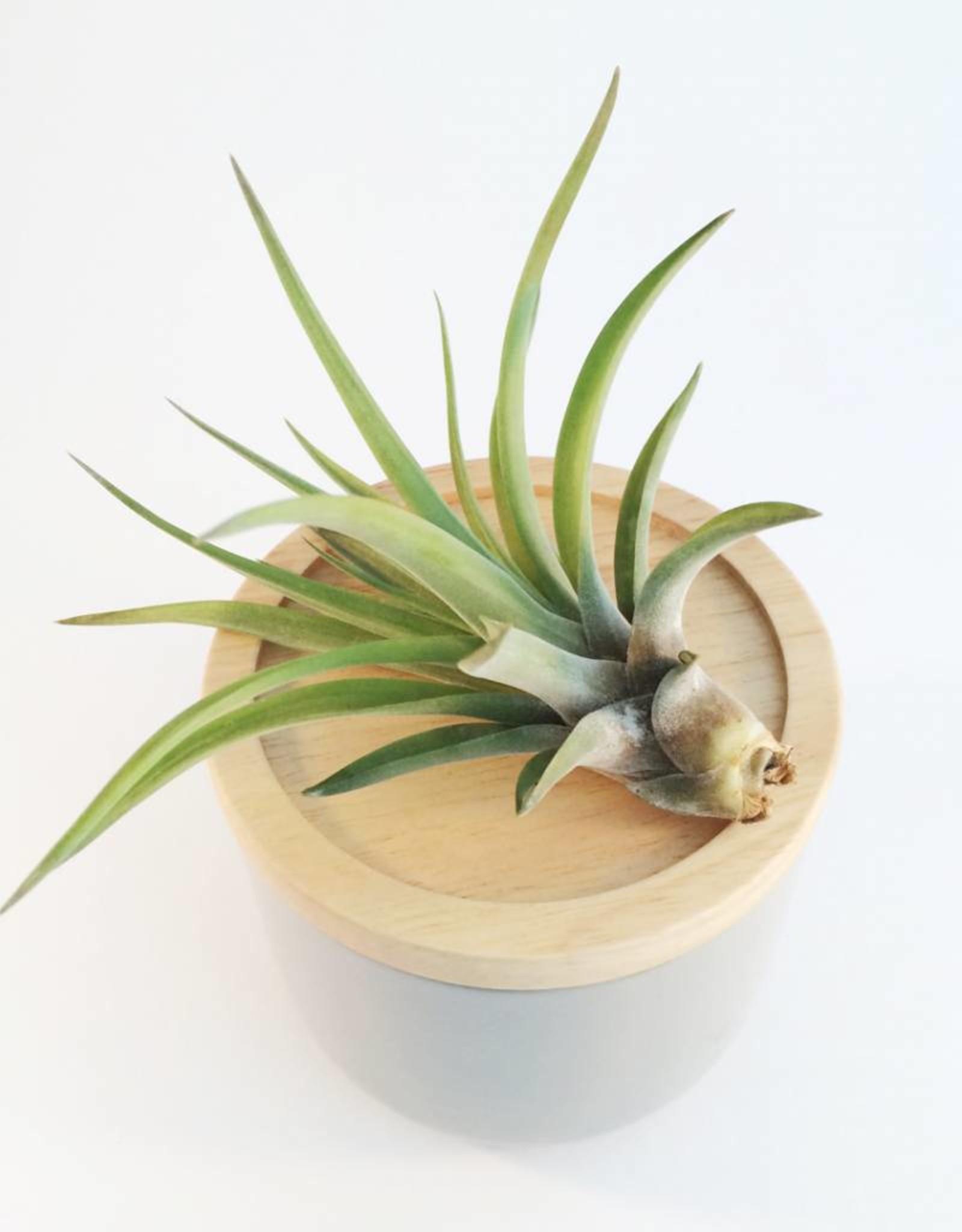 Draadzaken Airplant-Tillandsia Brachycaulis