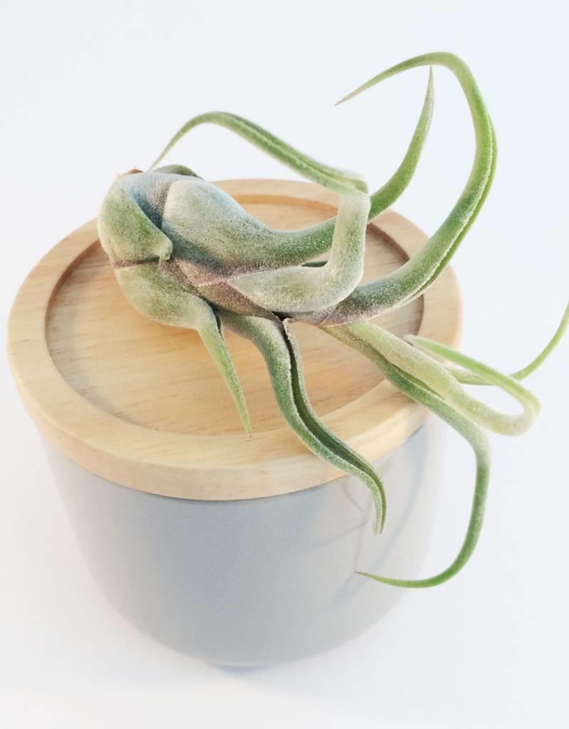 Draadzaken Airplant-Tillandsia Caput Medusae