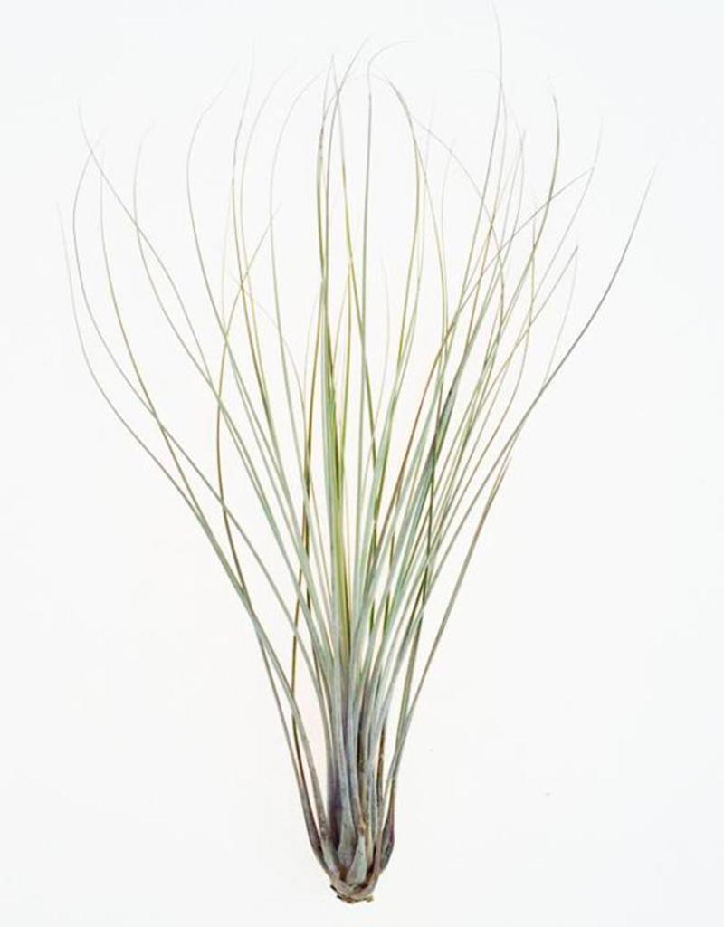 Draadzaken Airplant XL-Tillandsia Juncea