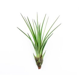 Draadzaken Airplant-Tillandsia Mecanocer