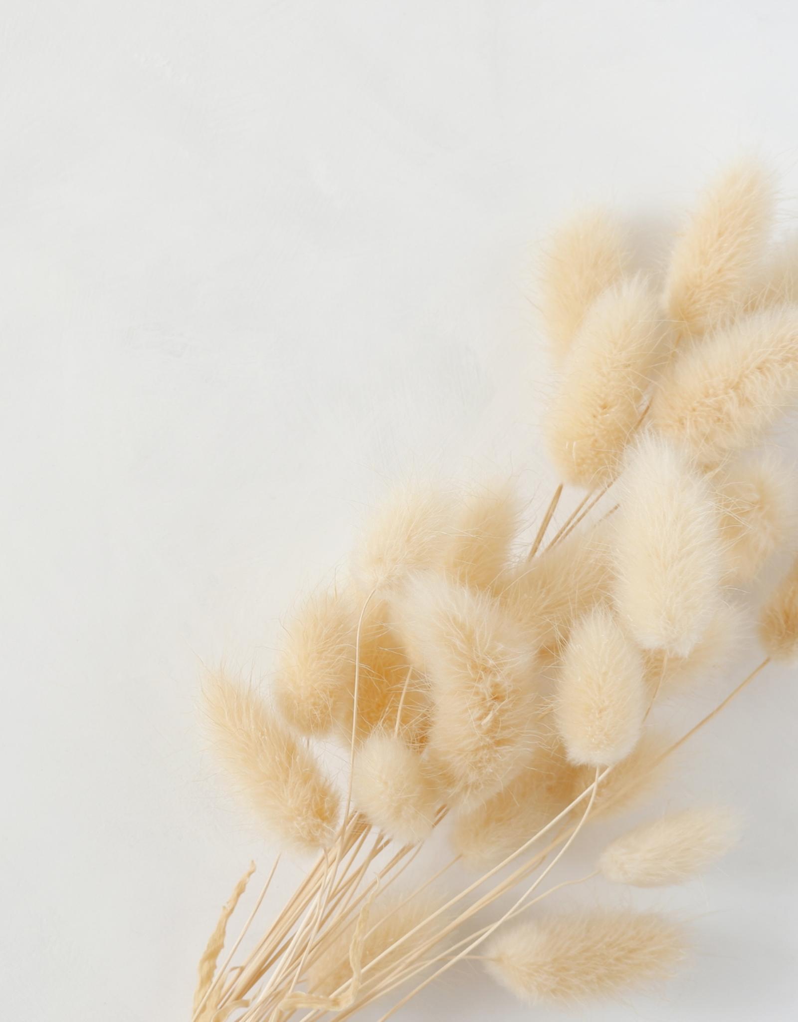 Droogbloemen Lagurus 'Bunny Tail' Small-naturel