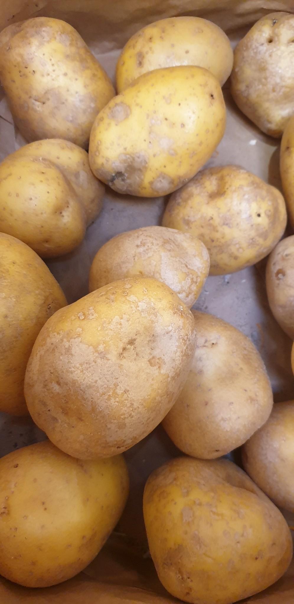 Kartoffel Agria Jumbo mehligkochend (CH)