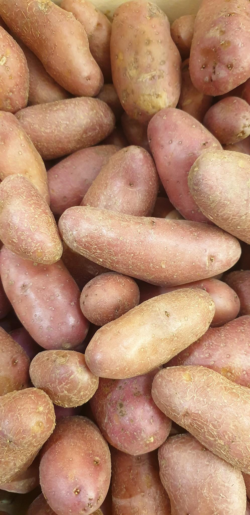 Kartoffel Chayenne rot (CH)