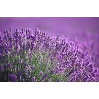 Hanging Parfums Lavendel