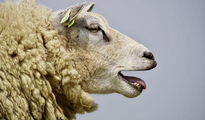 Met deze tips wordt het scheren van schapen een makkie!