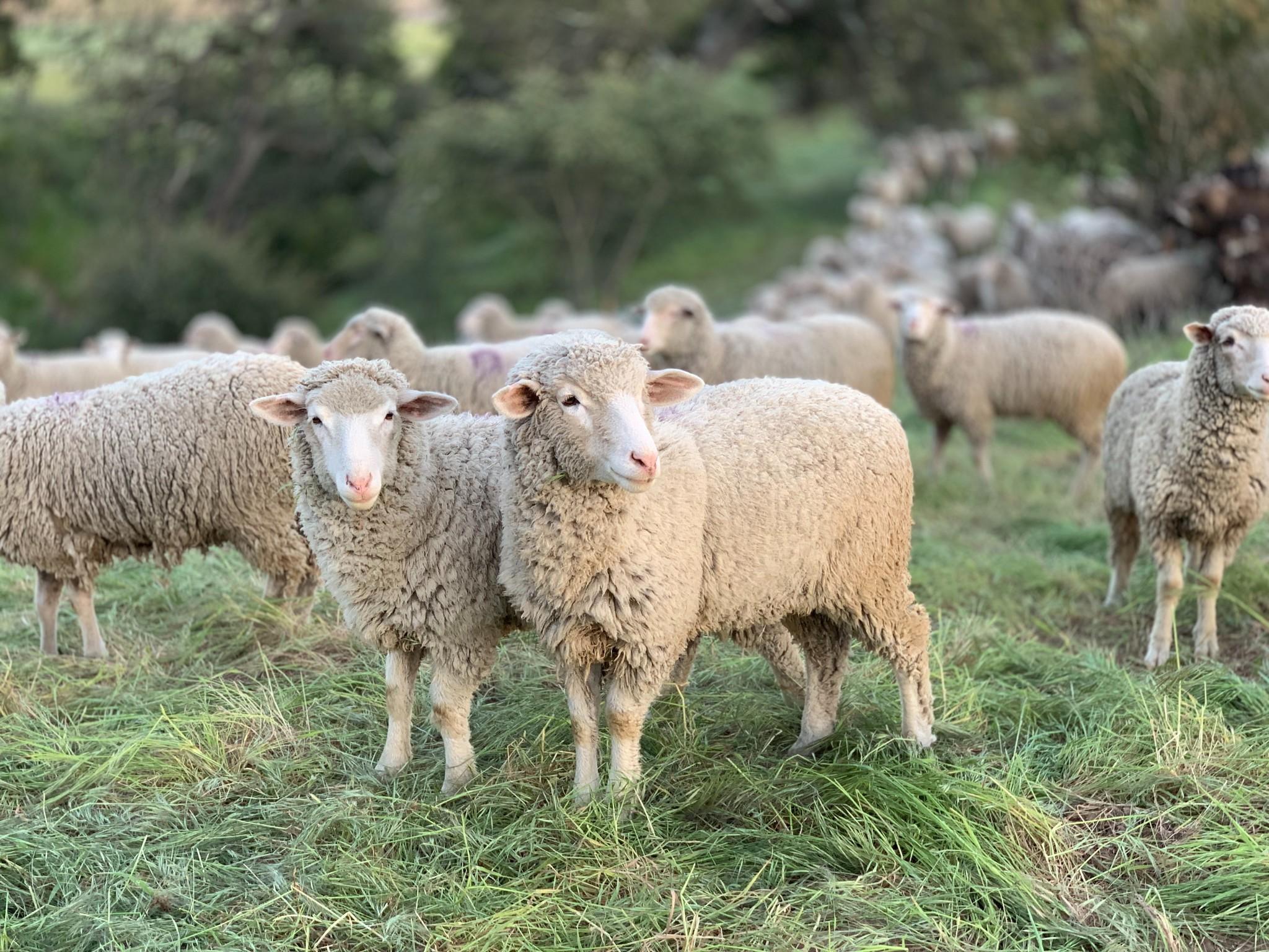5x weetjes over het schaap die jij nog niet wist