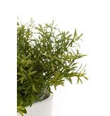 Rosemary bush lt green 20cm in white pot