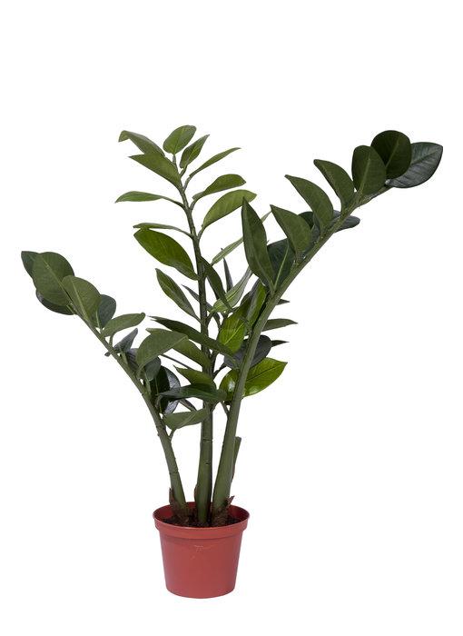 Kunstplant Zamiocalcus 50 cm