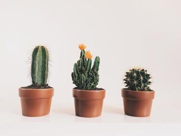 Nep cactus: de trend van nu