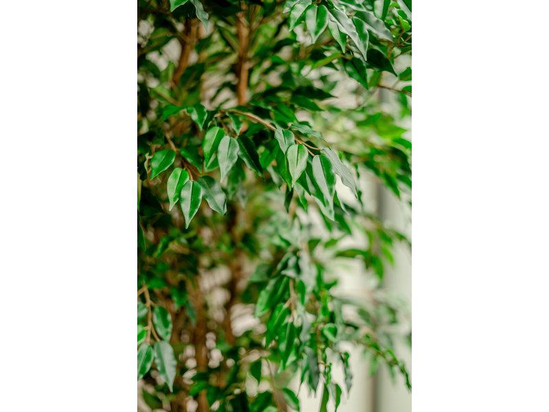 Kunstplant Ficus Liana 180 cm