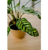 Kunstplant Calathea Makoyana 60 cm