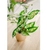 Kunstplant Dieffenbachia 40 cm