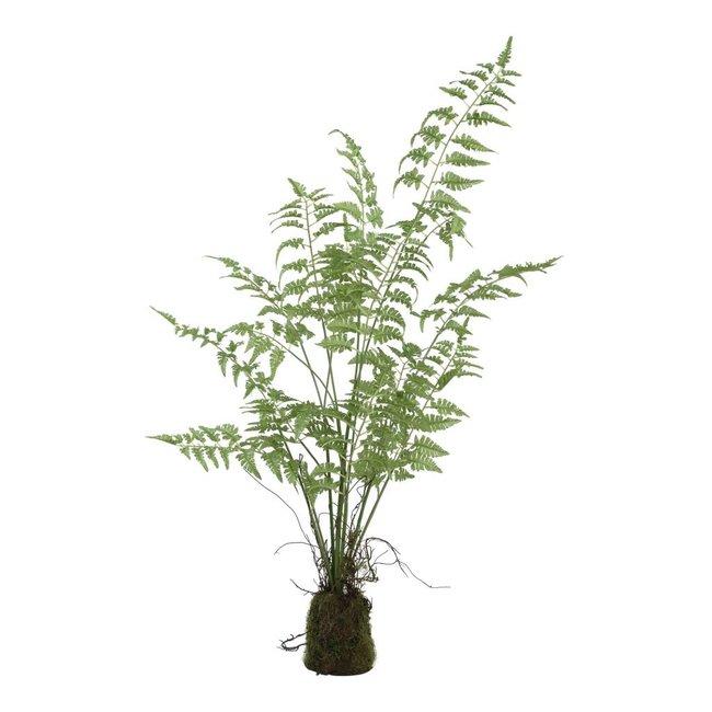 fern plant green asparagus grass bunck in clod M