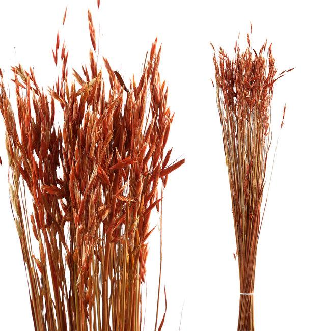 dried leaves red avena fatua grass