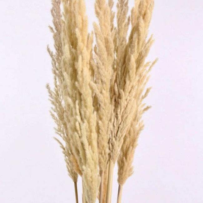 erianthus 110 cm