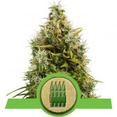 Royal Queen Seeds Royal AK Automatic