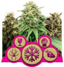 Royal Queen Seeds Gefeminiseerde mix