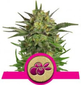Royal Queen Seeds Haze Berry