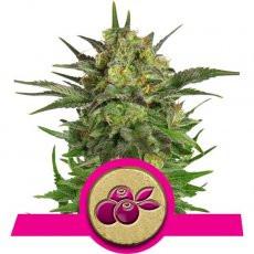 Royal Queen Seeds Haze Berry
