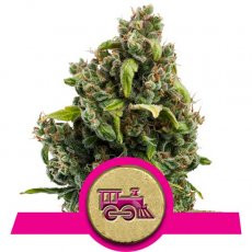 Royal Queen Seeds Candy Kush Express FAST VERSION