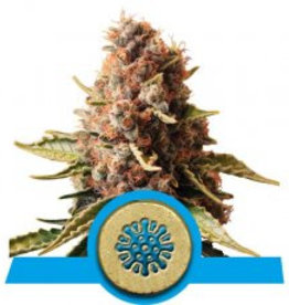 Royal Queen Seeds Euphoria