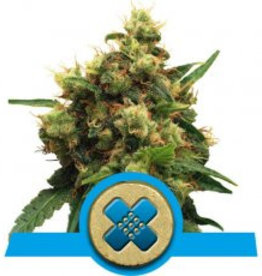 Royal Queen Seeds Painkiller XL
