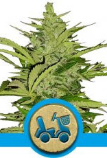 Royal Queen Seeds Fast Eddy Automatic