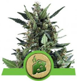 Royal Queen Seeds Blue Cheese Automatic