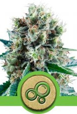 Royal Queen Seeds Bubble Kush Automatic