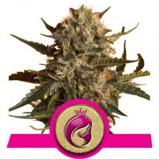 Royal Queen Seeds Royal Madre