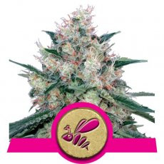 Royal Queen Seeds Honey Cream (Fast Flowering)