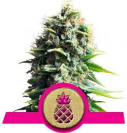 Royal Queen Seeds Pineapple Kush