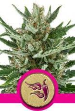 Royal Queen Seeds Speedy Chile (Fast Flowering)