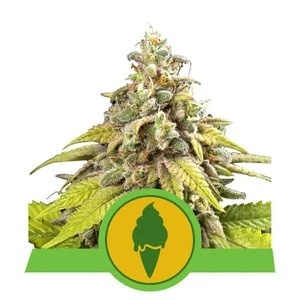 Royal Queen Seeds Green Gelato Automatic