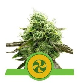 Royal Queen Seeds Sweet ZZ Automatic