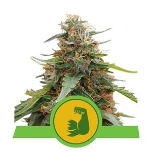 Royal Queen Seeds HulkBerry Automatic